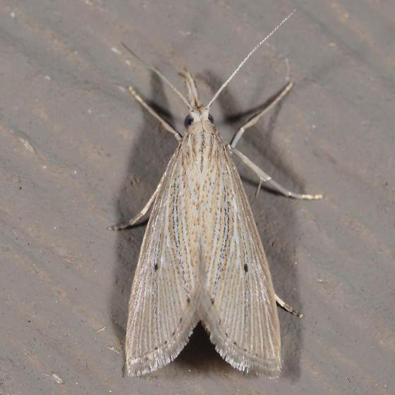 Wainscot Grass-veneer - Eoreuma densellus