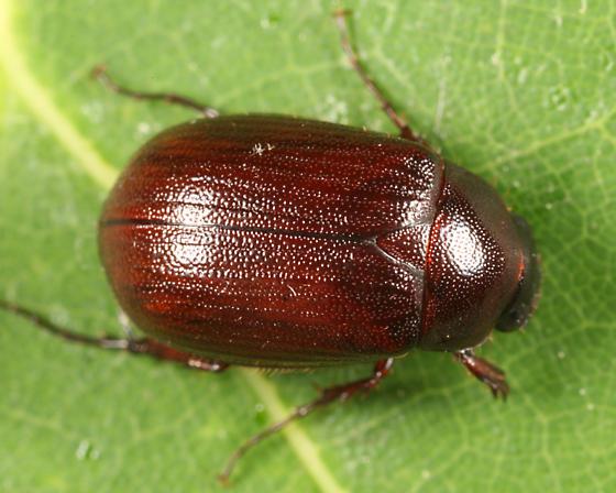 scarab - Serica georgiana