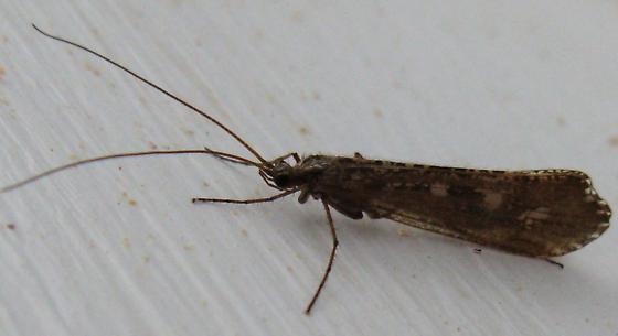 Caddisfly? - Glyphopsyche