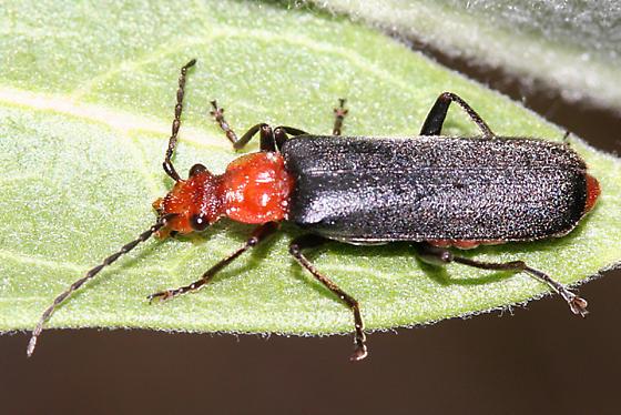 soldier beetle - Podabrus pruinosus