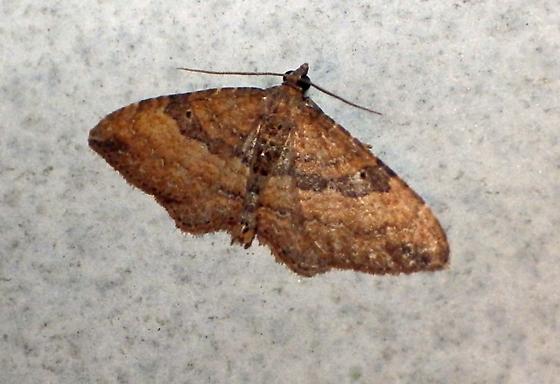 Moth - Orthonama obstipata