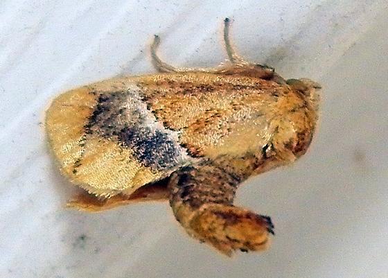 Moth 080616bara - Lithacodes fasciola