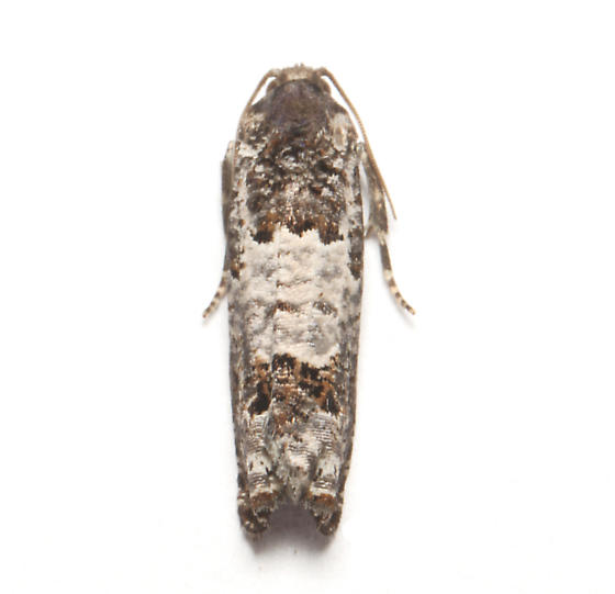 Olethreutinae, Gray-blotched Epiblema, dorsal - Epiblema carolinana