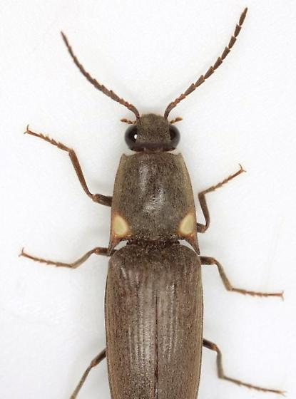 Deilelater physoderus (Germar) - Deilelater physoderus