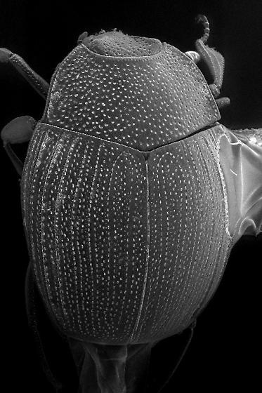 Stictostix californicus Horn - Stictostix californicus