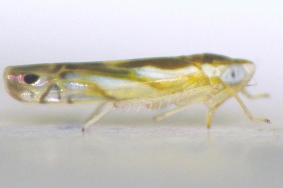 cream-and-brown leafhopper w/ pair of spots - Alconeura dorsalis