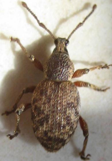 a tick? - Otiorhynchus singularis
