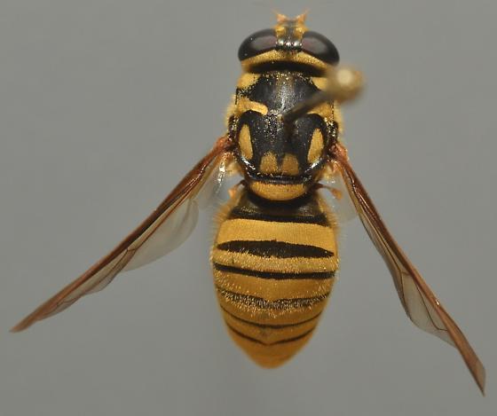 Syrphidae - Temnostoma daochus - female