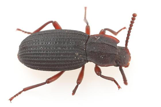 Tenebrionid - Eulabis bicarinata