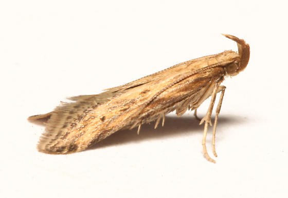 Gelechiidae, Burdock Seedhead Moth, lateral - Metzneria lappella