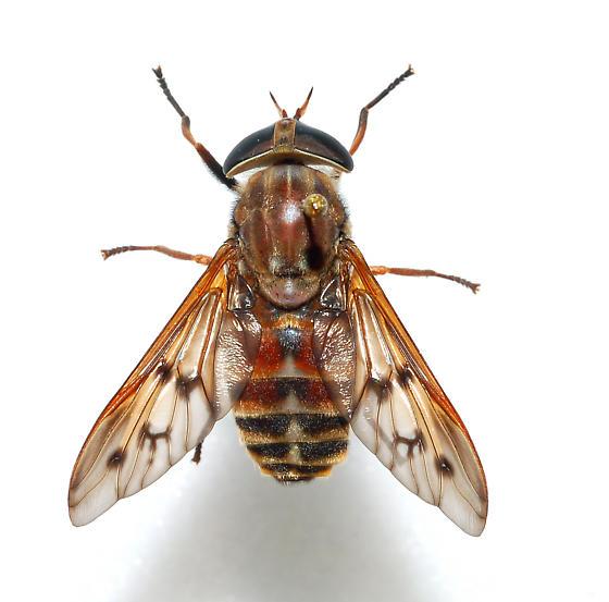 T. sulcrifrons or abdominalis? - Tabanus sulcifrons - female