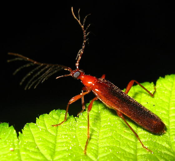 Red Beetle with Branched Antennae - Dendroides ephemeroides - male