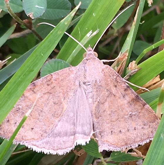 Daytime grass moth - Caenurgina