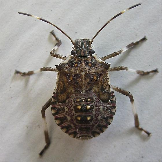 Brown Marmorated Stink Bug (Halyomorpha halys) - Halyomorpha halys