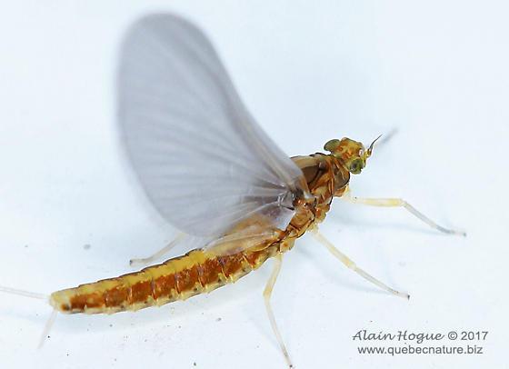 Ephemeroptera - Anafroptilum