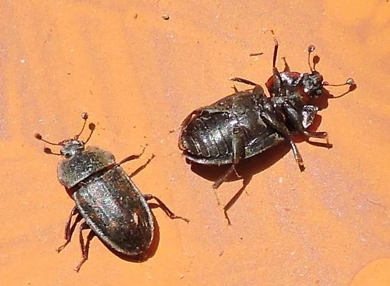 Beetles in mushroom - Phenolia grossa