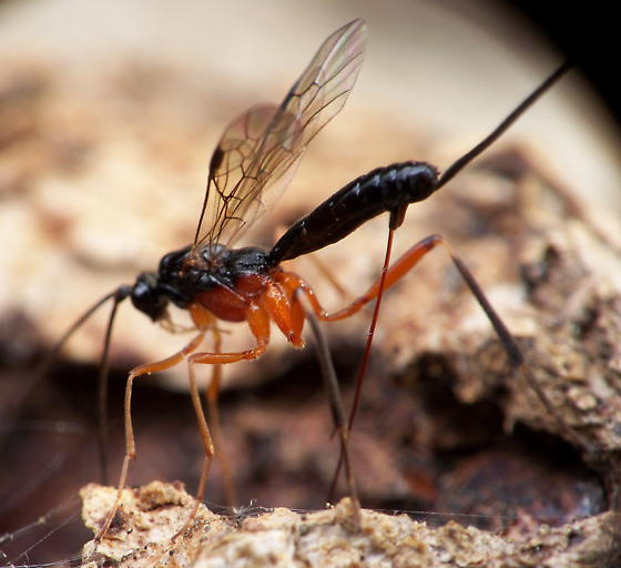 Unknown Braconid Wasp - Macrocentrus aegeriae - female