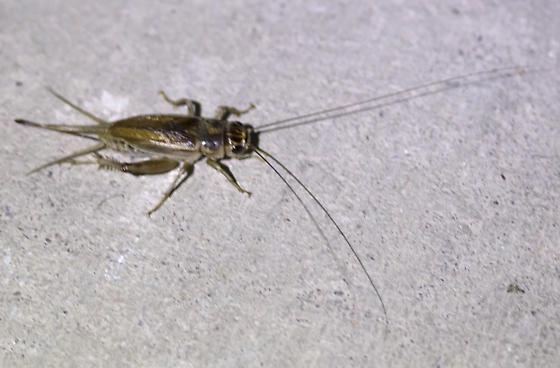 Cricket - Gryllus personatus - female