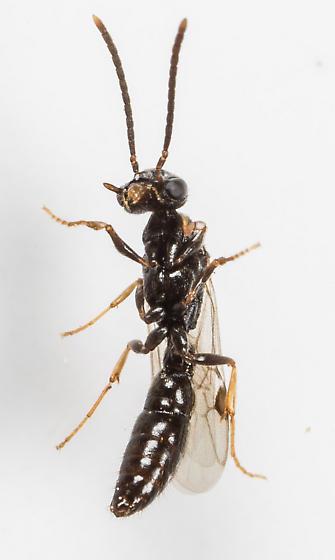 Wasp - Stigmatomma pallipes - male