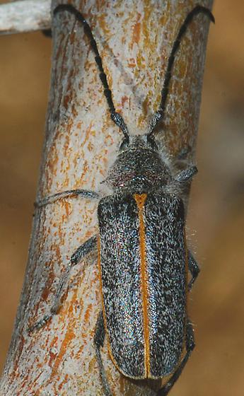 Schizax senex - female