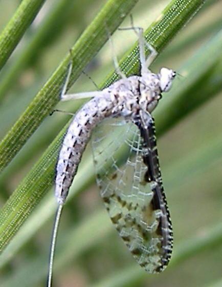 Mayfly - Callibaetis ferrugineus - female