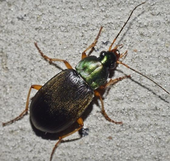 Beetle - Chlaenius vafer