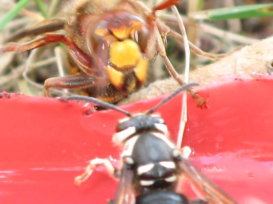 Vespa crabro & Dolichovespula maculata - Vespa crabro - female