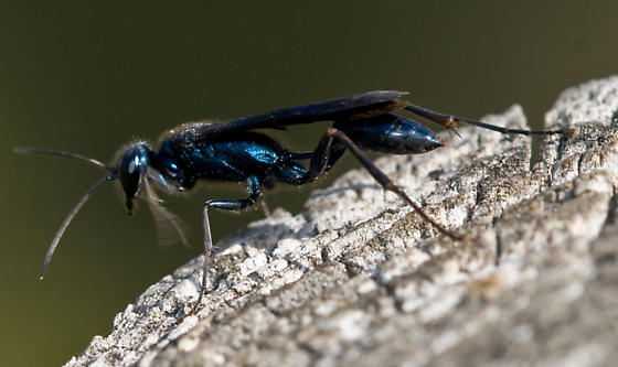 Iridescent blue-black wasp - Chalybion californicum