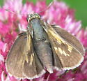 Crossline Skipper - Polites origenes - female