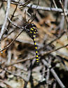 Yellow and Black Dragonfly - Cordulegaster dorsalis