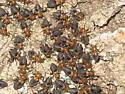 Swarm of something - Cerastipsocus trifasciatus