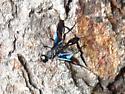 Blurry image of... - Pristaulacus fasciatus - female