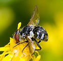 tachinid? - Gymnoclytia occidua