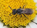 Possible cuckoo bee - Sphecodes - female
