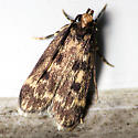 Small Moth - Martyringa latipennis