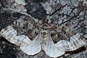 Moth ID - Euphyia intermediata
