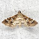 Salvinia Stem-borer Moth - Hodges #5151 - Samea multiplicalis