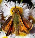 Hesperiinae? - Atalopedes campestris - male