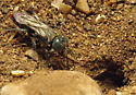Sand Wasp - Tachysphex