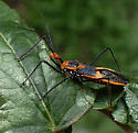 reduviidae sp - Zelus longipes