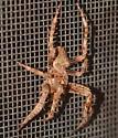Orbweaver - Araneus - male
