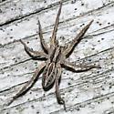 wolf spider - Schizocosa avida