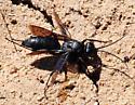Unknown Wasp - Arachnospila