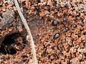 False Honey Ant (Prenolepis imparis)? - Prenolepis imparis