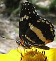 Butterfly - Chlosyne lacinia