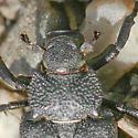 Ground Beetle ? - Cremastocheilus crinitus