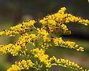 Shining flower beetles - Olibrus