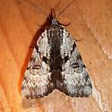 Gloomy Underwing - Hodges#8849 - Catocala andromedae