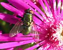 Unknown fly - Lucilia