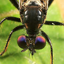 Purple eyed fly - Eudioctria albius - male